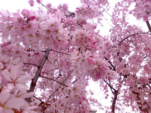 Pink flowers (Cherry blossoms) | by yancunyong
