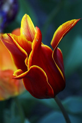 Tulip 8 07 | by dinzie