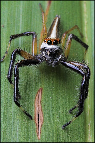 jumping spider  coconut leaf flickr photo sharing