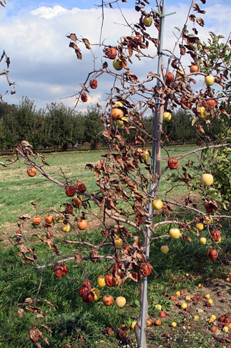 Dying Appletree Flickr Photo Sharing
