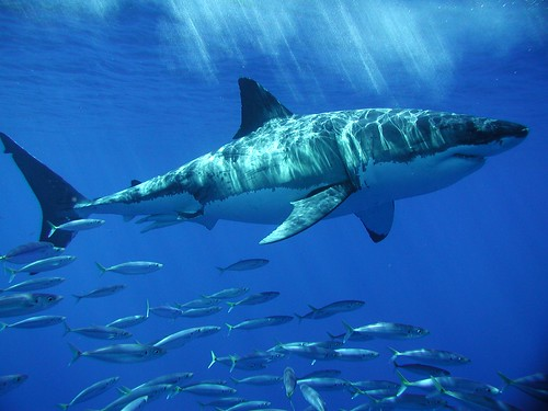 Guadalupe Trip - Great White Shark 7 | by PhotoStrokes.net