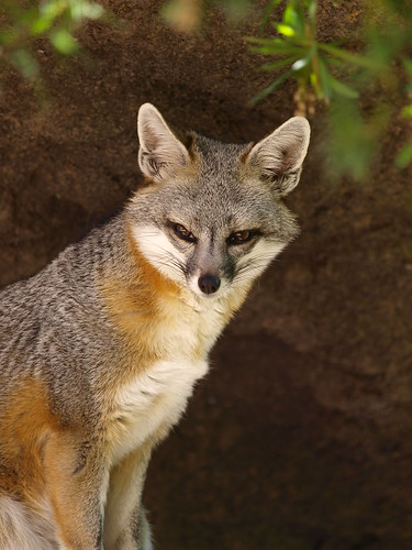 Desert Grey Fox | by Coppertane