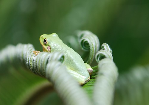 Frog in a Fern~American Green Tree Frog | by Old Shoe Woman