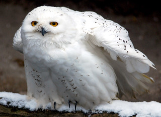 Snowy owl | by floridapfe