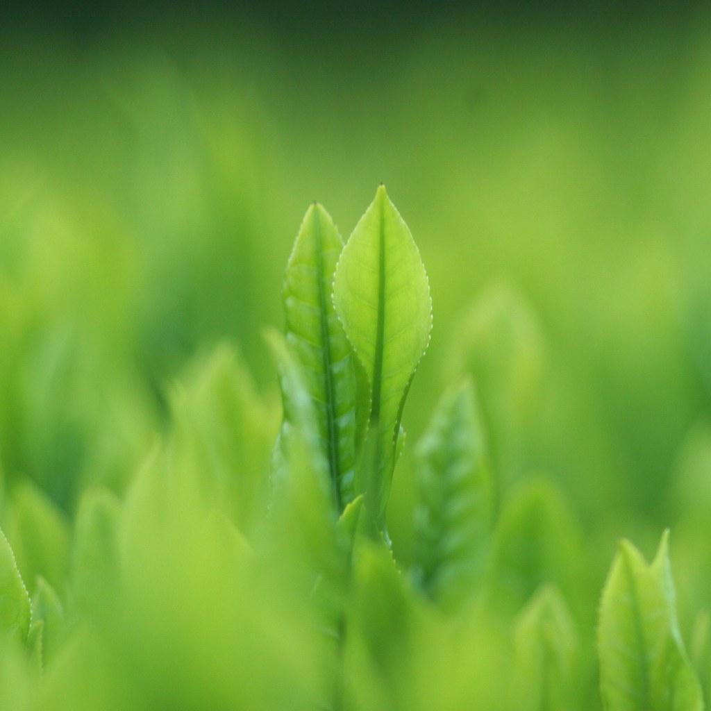 Tea leaf 八十八夜