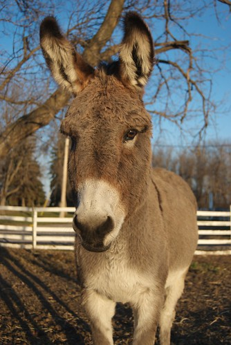 Winter Donkey in the Afternoon Sun | by pmarkham