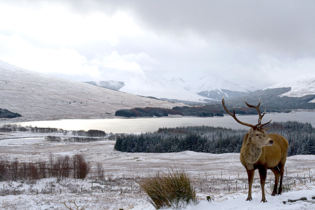 A lone stag in the snow by a loch with mountains in the background.