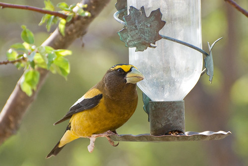 Evening Grosbeak 02 | by Keefee