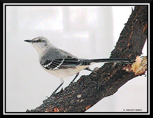 Mockingbird (gimpified) | by h_dwight_beers