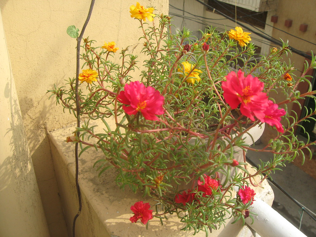Summer Flowering Annual Plants For Lahore Karachi Peshawar And