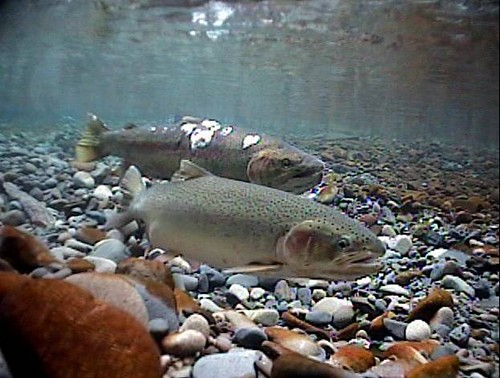 Spawning steelhead | by Oregon State University