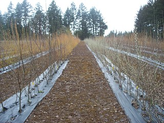 Genetically modified trees | by Oregon State University