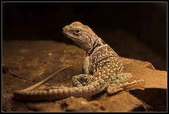 The Lizard pose | by carinahfrey