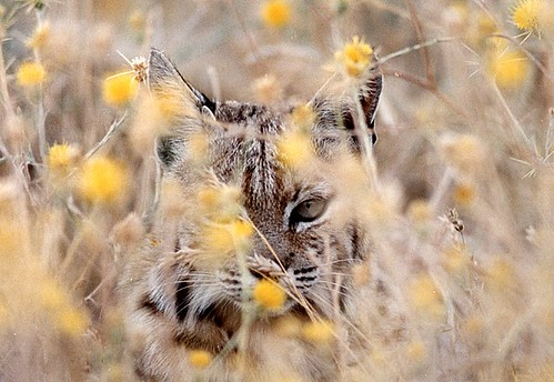 bobcat2 | by Contra Costa Times