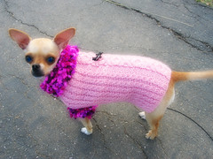 Babe chihuahua in the pink sweater | by kira-waldman