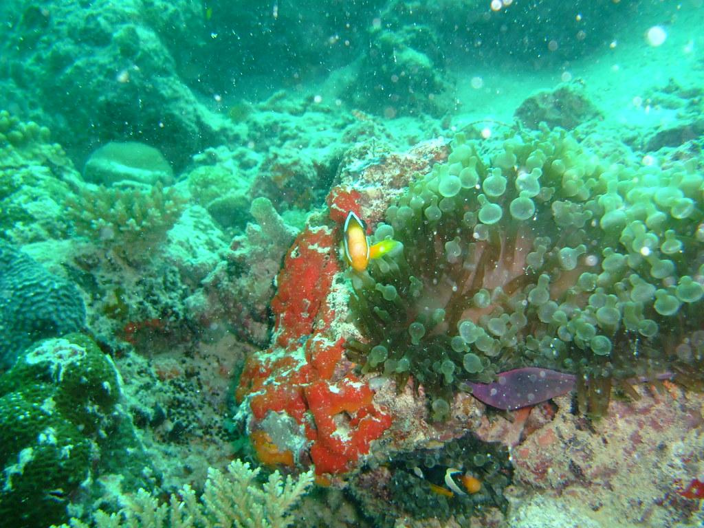 Maldives Banyan