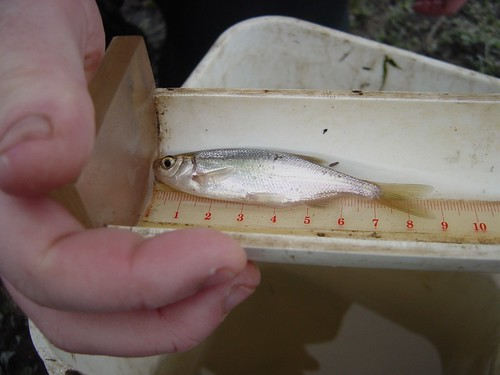 redside shiner | This redside shiner is one of the native ...