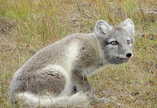 Arctic fox (Alopex lagopus) | by Billy Lindblom