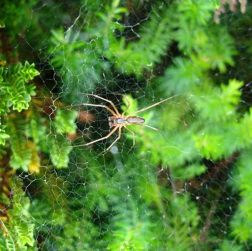 Pider spider dog flickr for Spider plant dogs