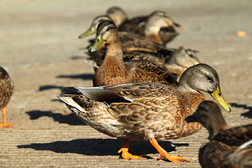 Ducks in a row | by dalvenjah