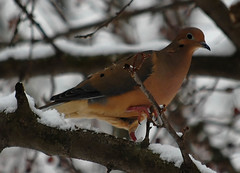 Mourning Dove | by sheryl2010