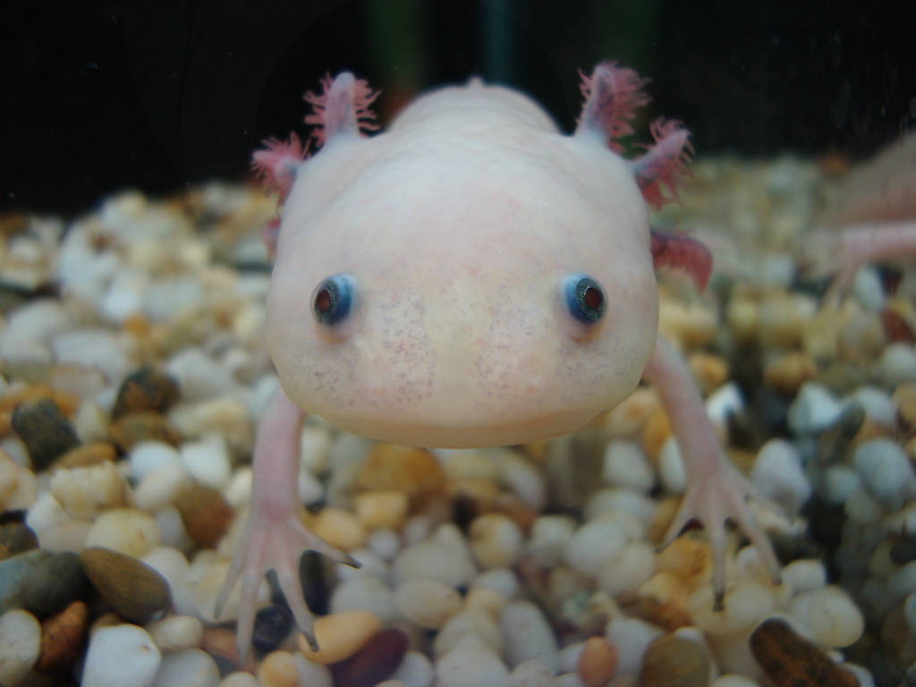 axolotl | by Angela Gardner