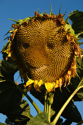 Sunflower Happyface