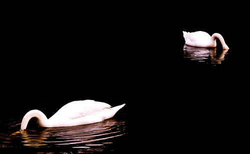 two swans | by DorkyMum
