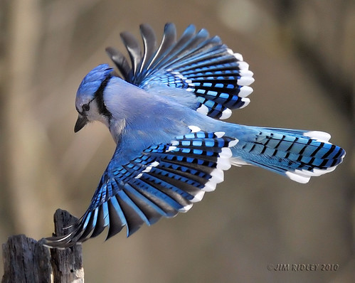 _DSC0303Blue Jay | by JRIDLEY1