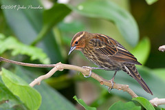 Female Red-winged Blackbird | by bananaman33428