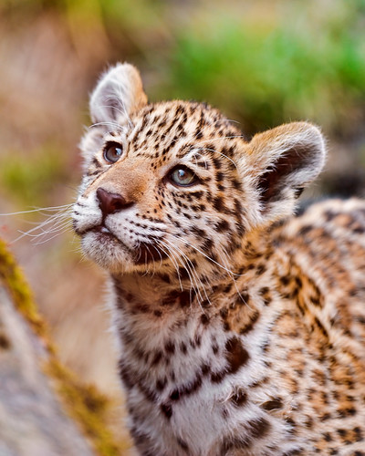 «My name is Iazua. Do you want to play with me?» | by Tambako the Jaguar