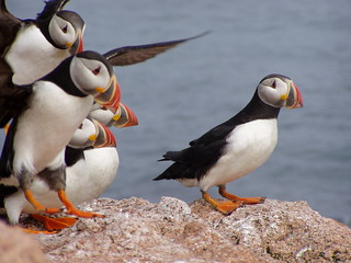 Photo of the week - Atlantic puffins landing | by U. S. Fish and Wildlife Service - Northeast Region
