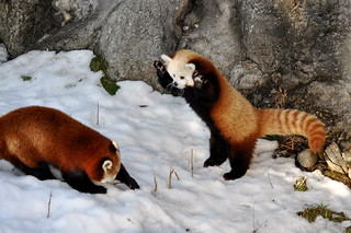 Red Panda Fight! | by Alexander Yates