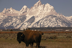 grand teton bison | by Steve Courson