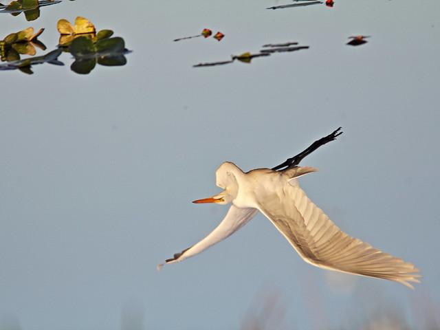 Great Egret reflection 20131118