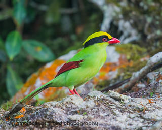 Comman Green Magpie