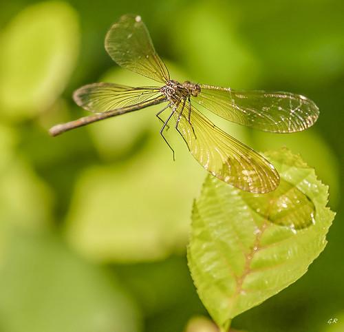 Calopteryx Vierge femelle en vol (2).