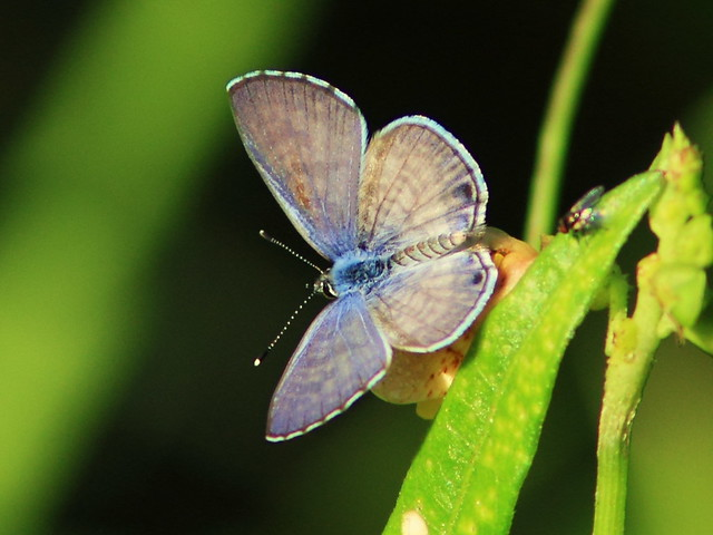 Cassius Blue dorsal view 20131029