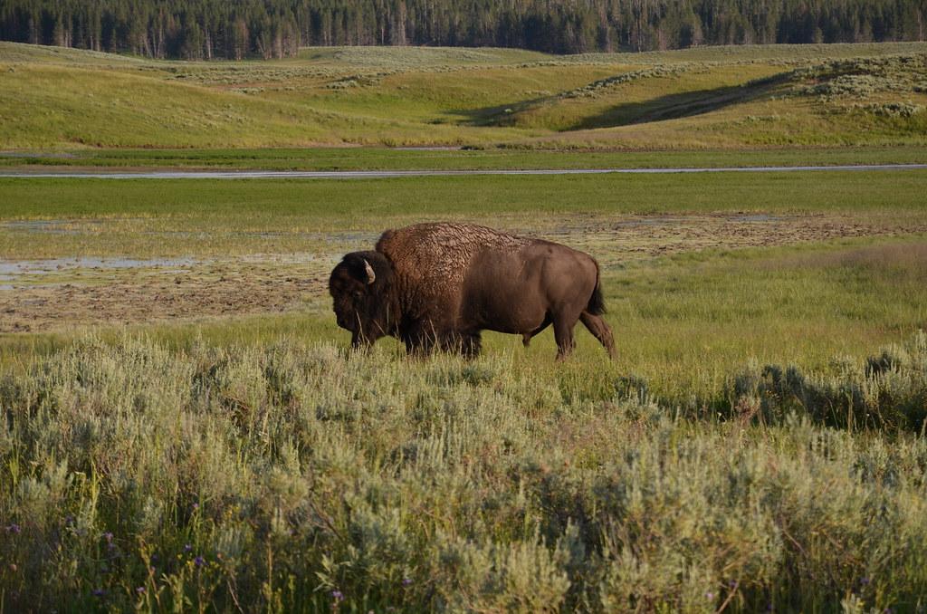 bison yellowstone nationalpark wyoming