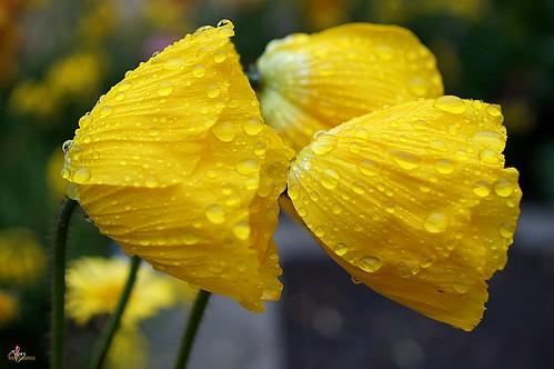 Pluie sur les fleurs jaunes du jardin
