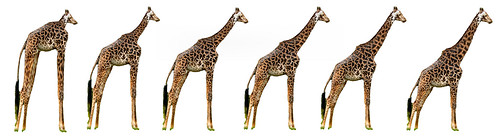 The evolution of the giraffe | by dmswart