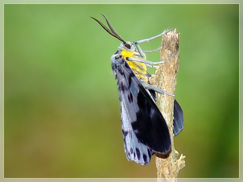 Life Cycle of Blue Tiger Moth | by Dr.K.Saji