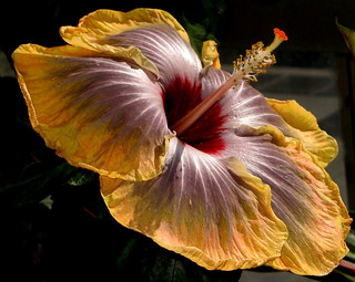 Fifth Dimension Hibiscus | by Kurlylox1