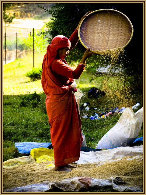 cleaning wheat a nepali woman making use of a warm and
