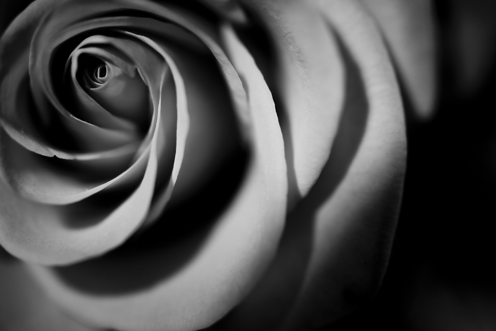 Black And White Rose | Red rose grayscaled to great ...