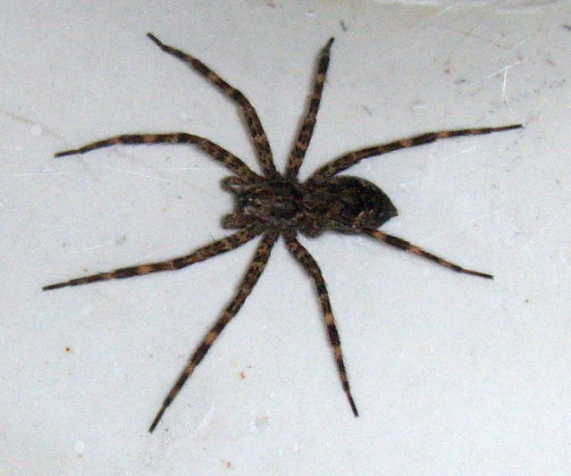 Esstisch Spider Wood ~ Wood Spider  From Elaine in Spring Lake  in the downstairs…  Flickr