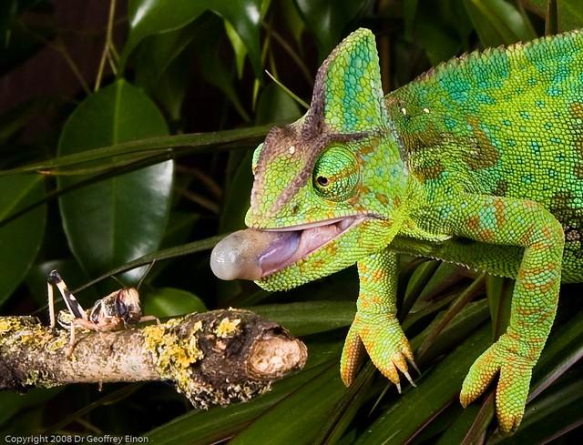 yemen or veiled chameleon chamaeleo calyptratus