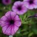 Purple Petunia / Purperen Petunia