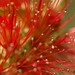 Bottle Brush Red 2