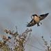 Flight of the Butcherbird!!!